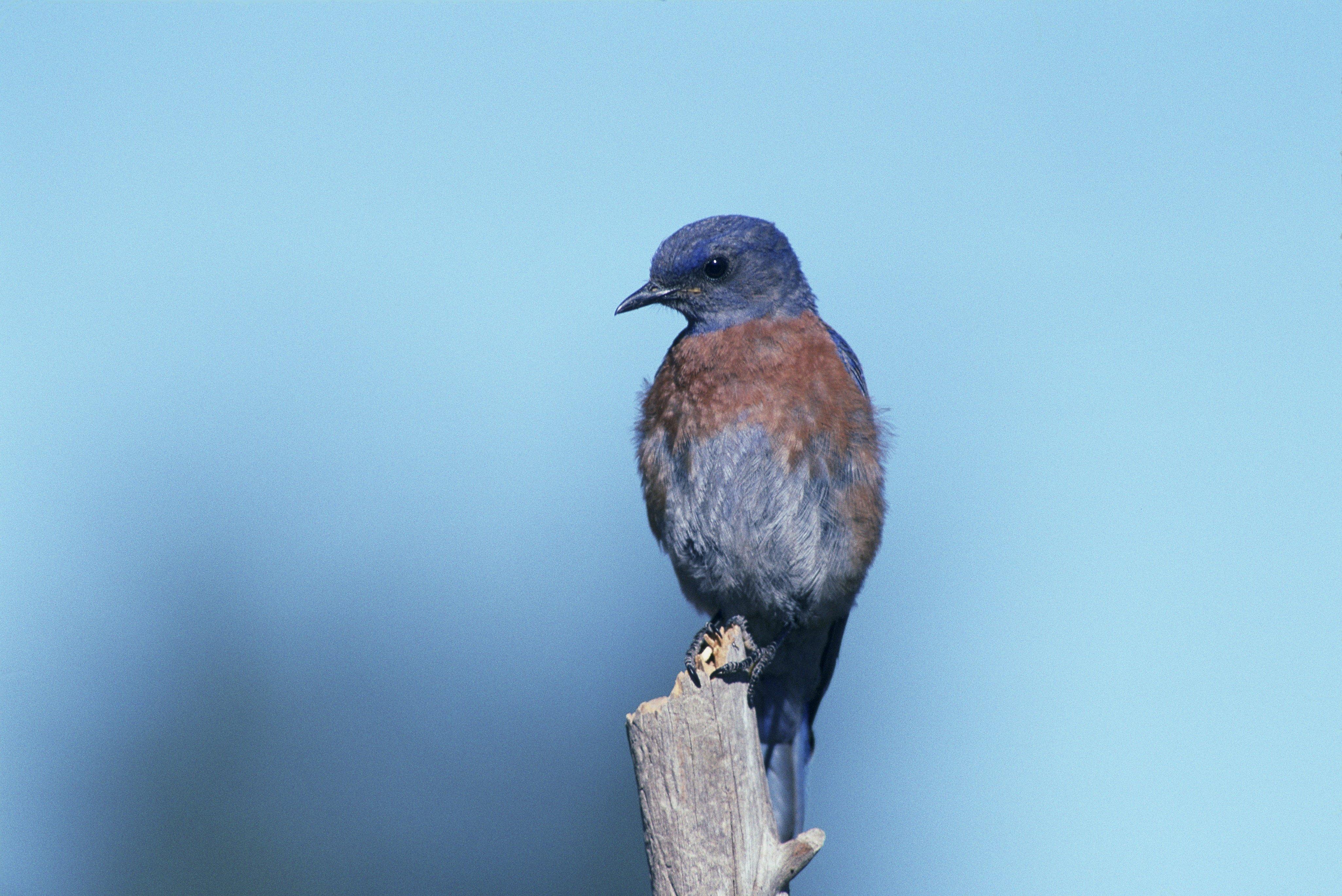 western-bluebird-541379